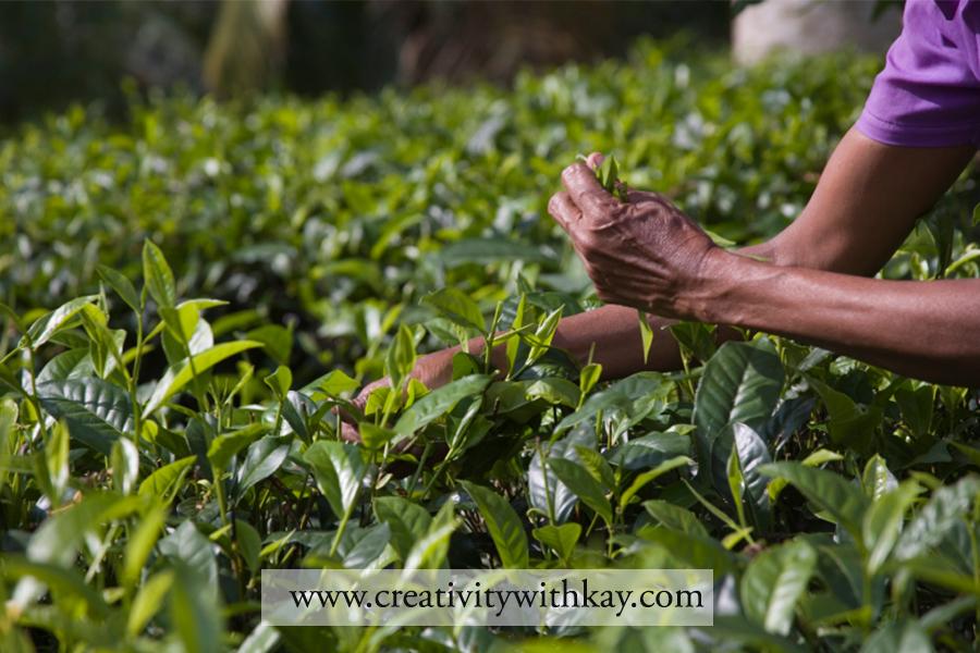 qatar-travel-blogger-khansa-tea-plantation-nuwara-eliya-teapicking-srilanka
