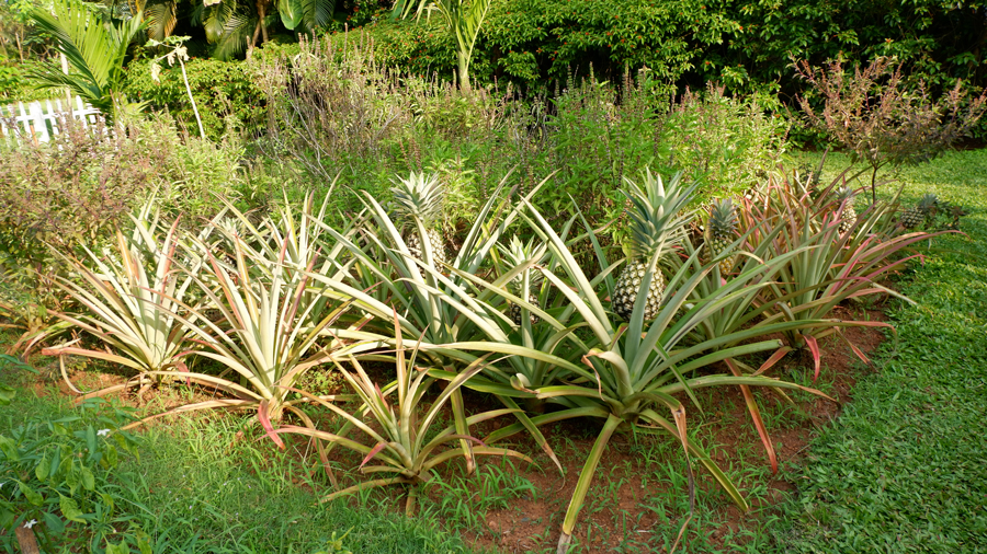 alila-diwa-goa-pineapple-farm.jpg