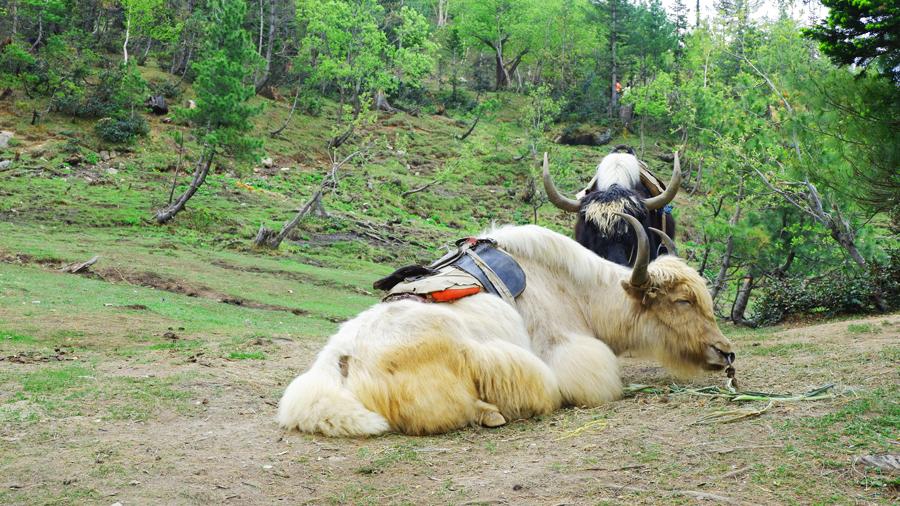 Gulaba-mountain-yak.jpg