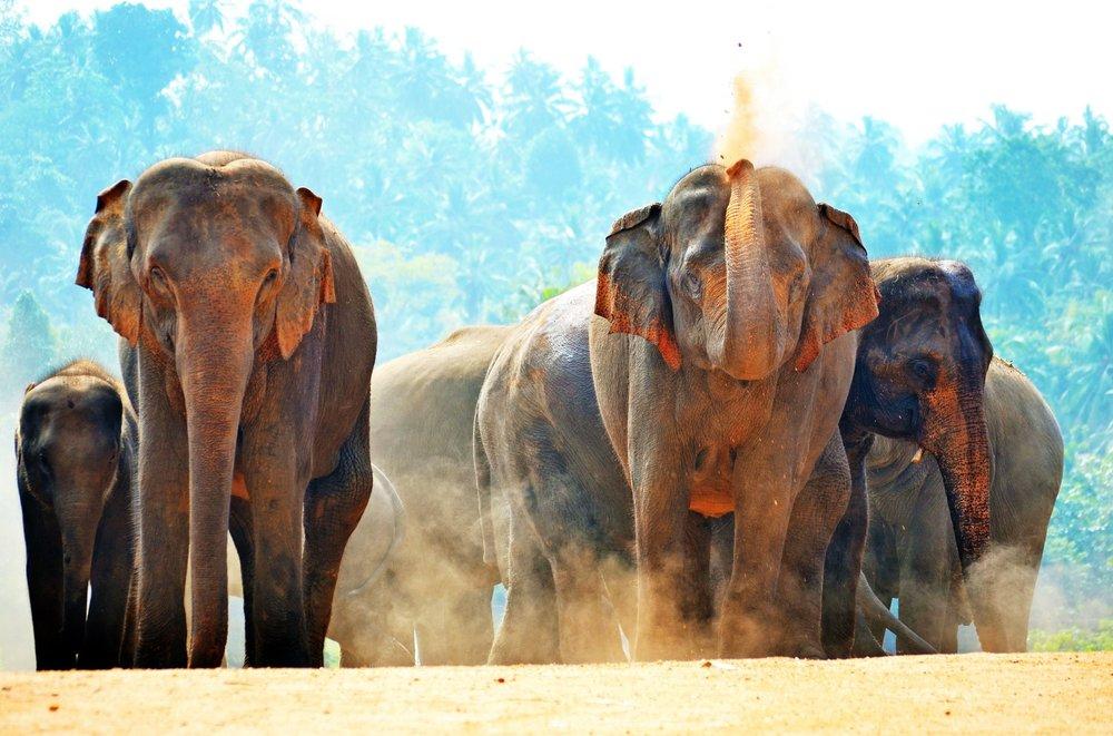 elephants-minneriya-srilanka.jpg