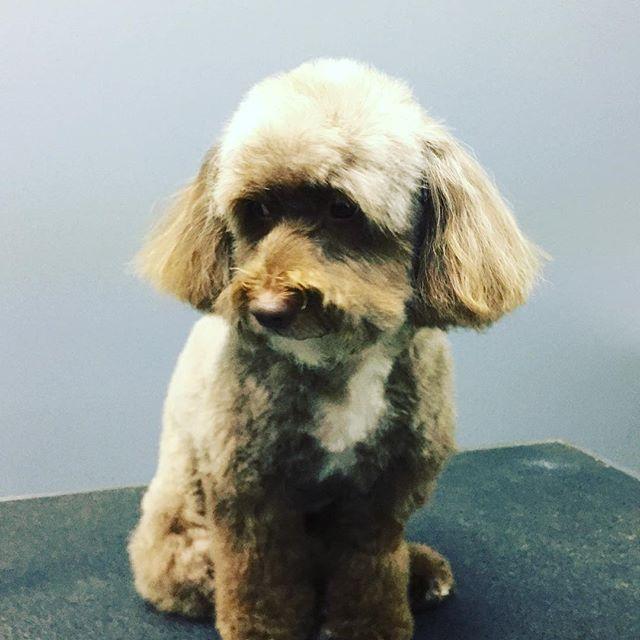 I think I'm cute, do you? #doggiestylesbk #dogsofinstagram #poodlesofinstagram #bestofbrooklyn #spaday