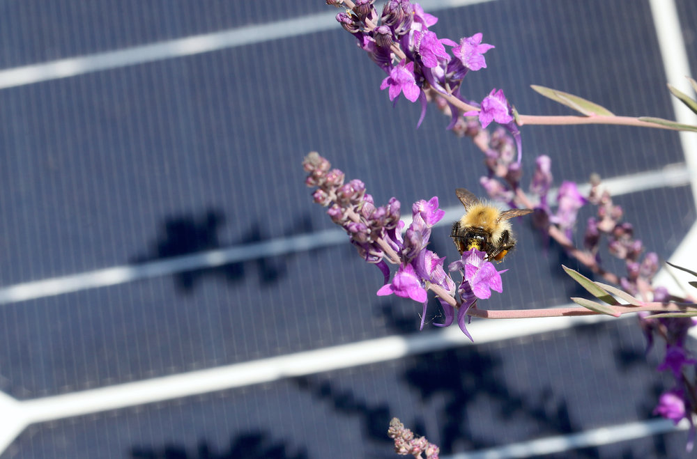 Eden Renewables Pollinator-Friendly Solar Farms 10.jpg