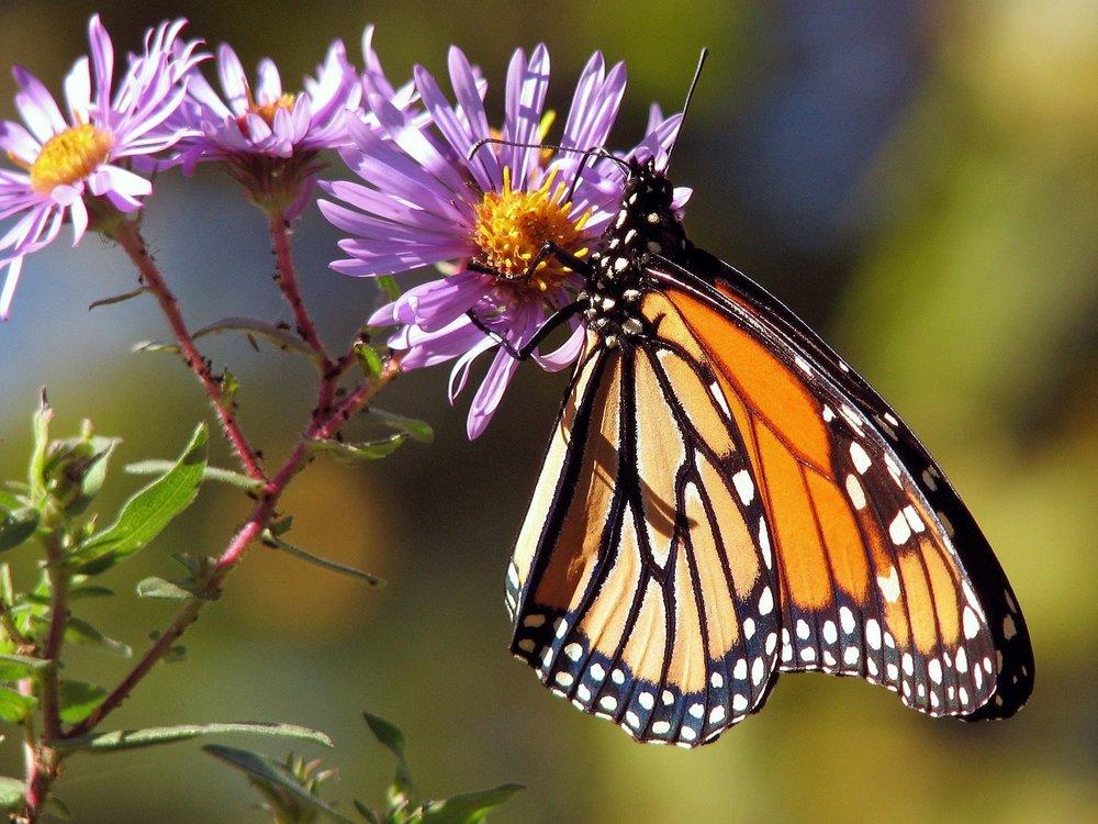 butterfly-flora-flowers-87473.jpg