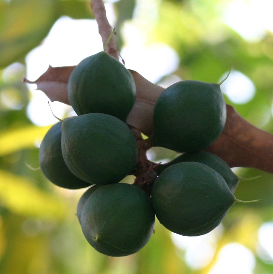 beaumont-macadamia.jpg