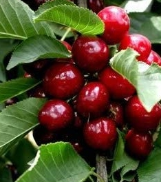 minnie-royal-cherry.jpg