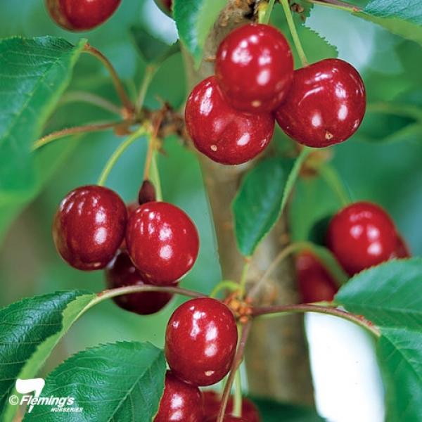 royal-lee-cherry.jpeg