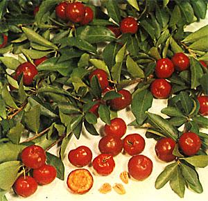 barbados-cherry.jpg