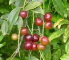 capulin cherry.jpg