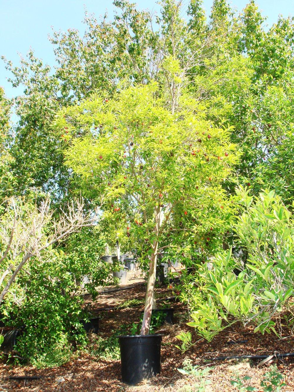 Rio GrandeBrazilian Cherry (2).JPG
