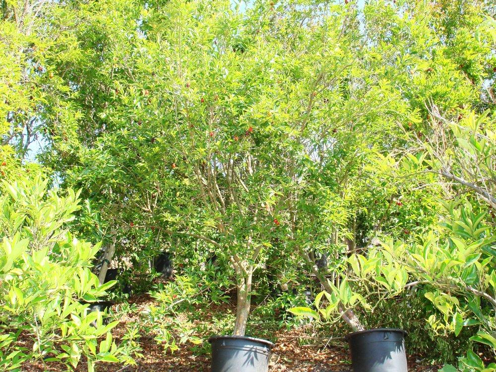 Rio GrandeBrazilian Cherry (5).JPG