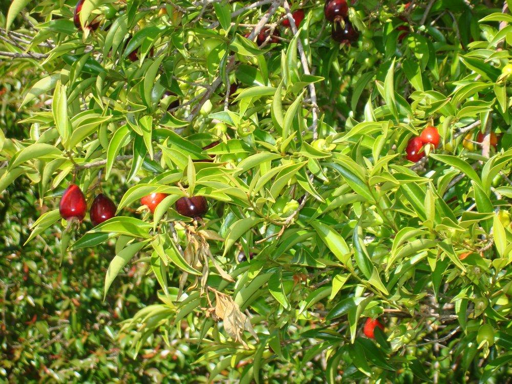 Rio GrandeBrazilian Cherry (7).JPG
