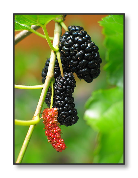 Mulberry (1).jpg