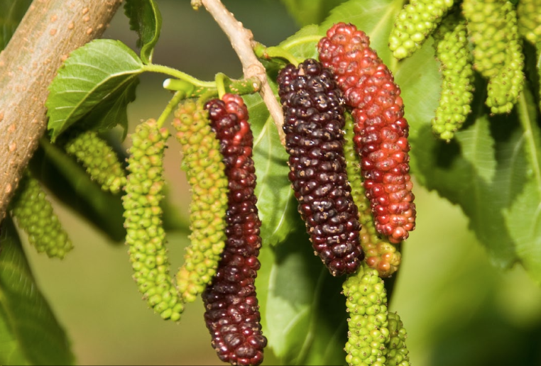 Pakistan-Mulberry.png