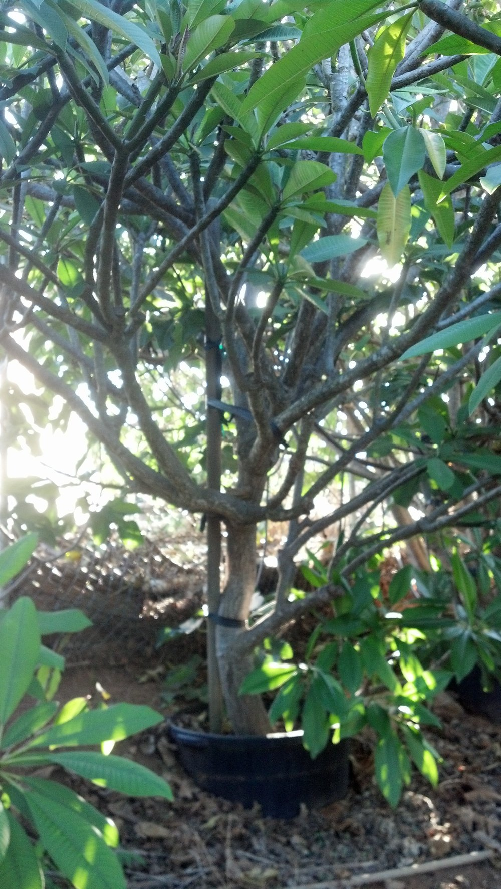 Plumeria 9.jpg