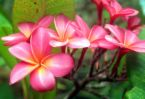 plumeria pink 2.jpg