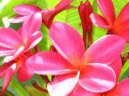 plumeria pink 3.jpg