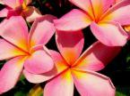 plumeria pink 13.jpg
