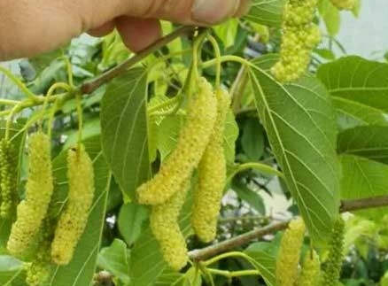 white-pakistan-mulberry.jpg