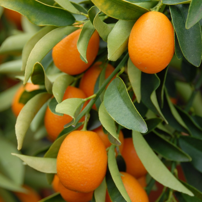 california-tropical-kumquat.jpg