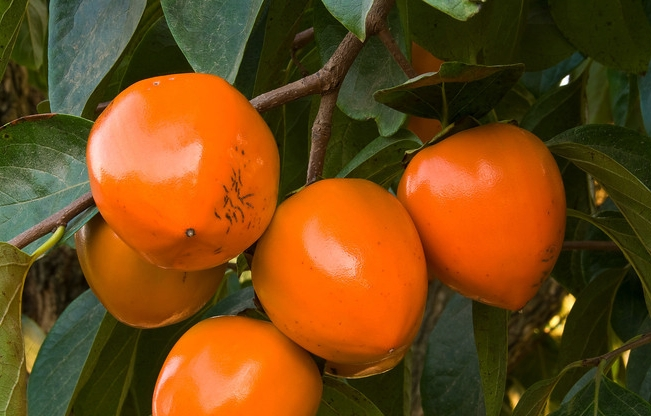 california-tropical-hachiya-persimmon.jpg