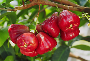 california-tropical-red-wax-jambu.png