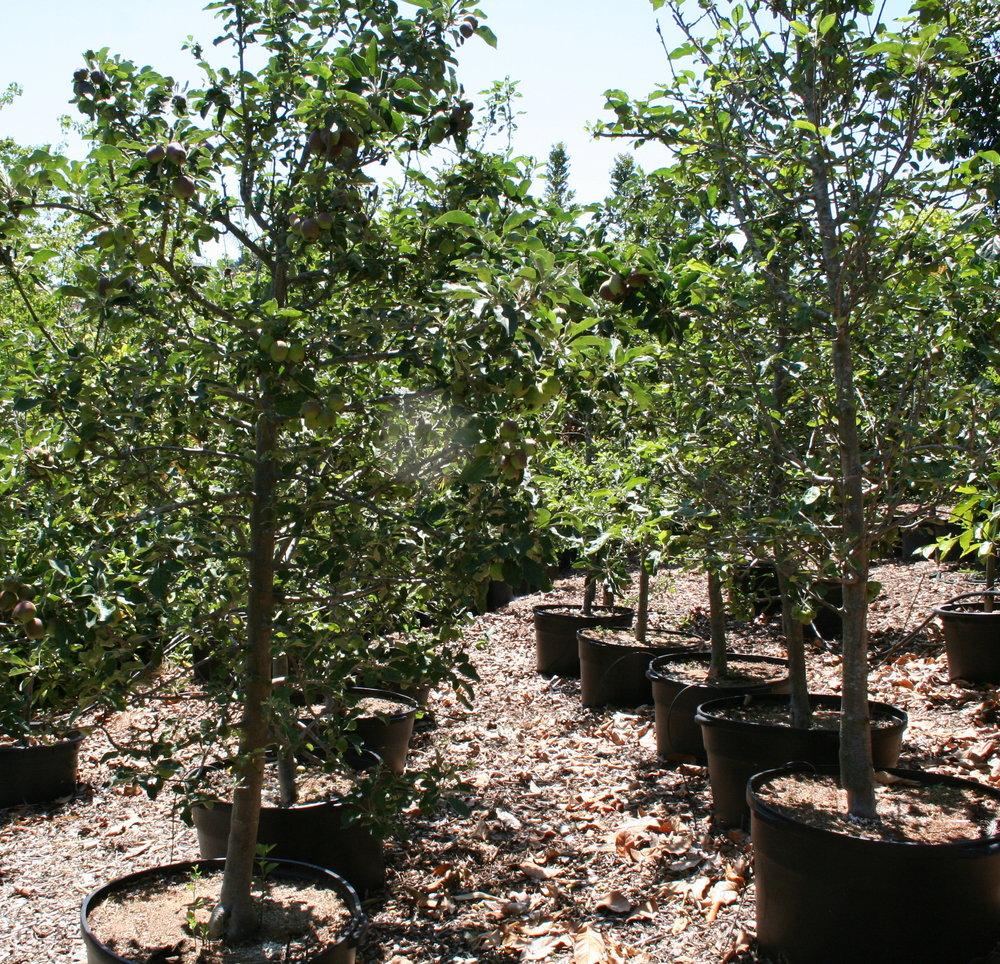 california-tropical-apple-tree.JPG
