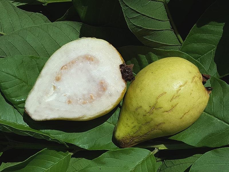 california-tropical-pear-guava.jpg