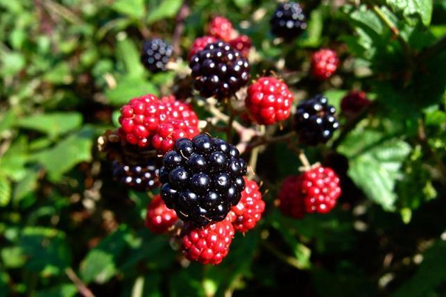 california-tropical-blackberry-2.jpg