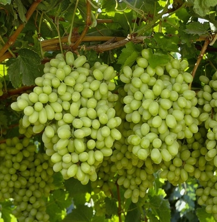 california-tropical-thompson-seedless-grape-1.jpg