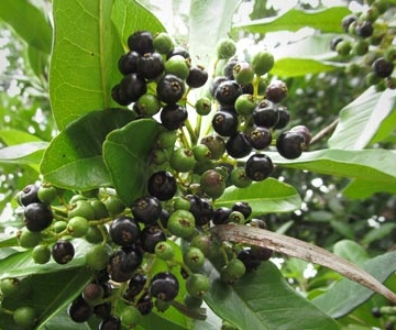 california-tropical-allspice-berries.jpg