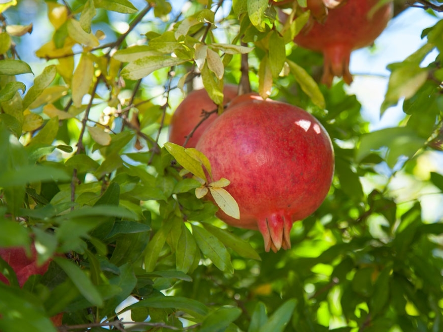 california-tropical-field-sweet-pomegranate-2.jpg