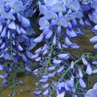 california-tropical-wisteria-blue-moon-1.jpg