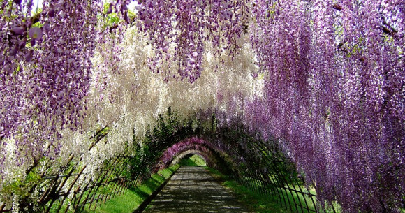 california-tropical-wisteria-2.jpg