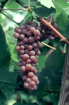 california-tropical-canadice-grape-2.JPG