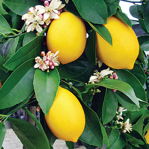 california-tropical-eureka-lemon-1.jpg