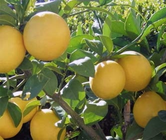 california-tropical-meyer-lemon-1.jpg