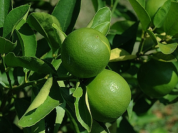 california-tropical-bearss-lime-1.jpg