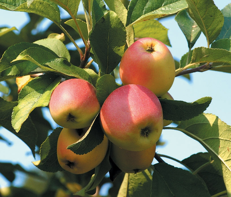 california-tropical-winter-banana-apple-1.jpg