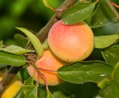 california-tropical-autumn-royal-apricot-1.jpg