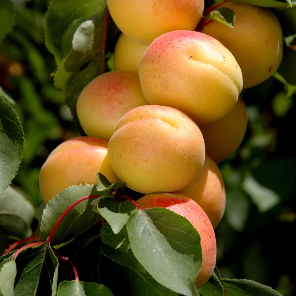 california-tropical-cot-n-candy-apricot-1.jpg