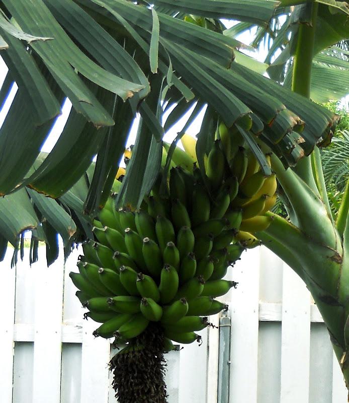 california-tropical-dwarf-apple-banana-1.jpg