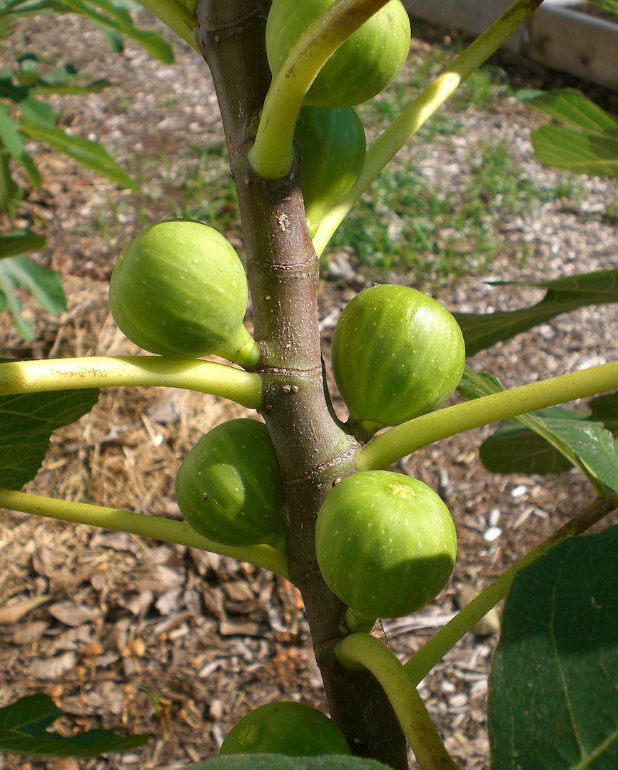 california-tropical-peters-honey-fig.jpg