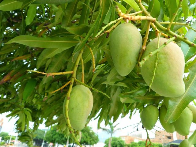 california-tropical-corriente-mango-1.jpg