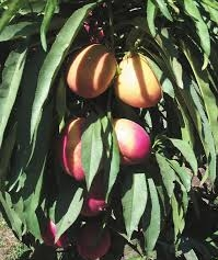 california-tropical-southern-belle-nectarine-1.jpg