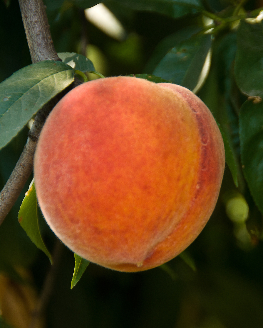 california-tropical-santa-barbara-peach-1.jpg