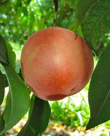 california-tropical-babcock-peach-1.jpg