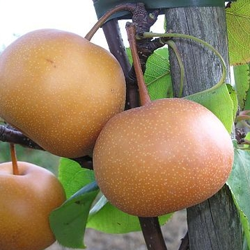 california-tropical-ishiiwase-pear-1.jpg