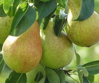 california-tropical-hood-pear-1.jpg