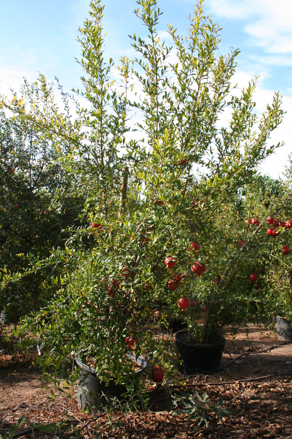 Field Sweet Pomegranate.JPG