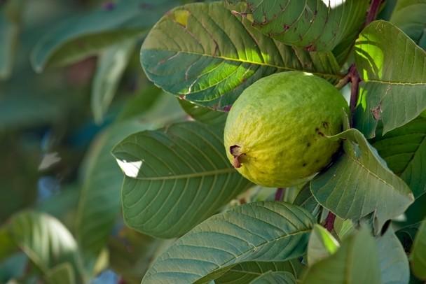 guava.jpeg